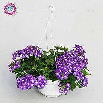 graines 100pcs Verveine seeds.Verbena HORTENSIS, graines de bonsaï rares fleurs Hanging plantes balcon intérieur fleurs pour le jardin à la maison 1