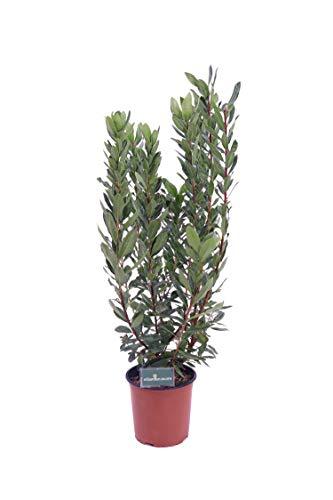 pianta di Corbezzolo albero da frutto di Corbezzolo pianta vera Corbezzolo pianta venduta da eGarden.store (corbezzolo vaso18)
