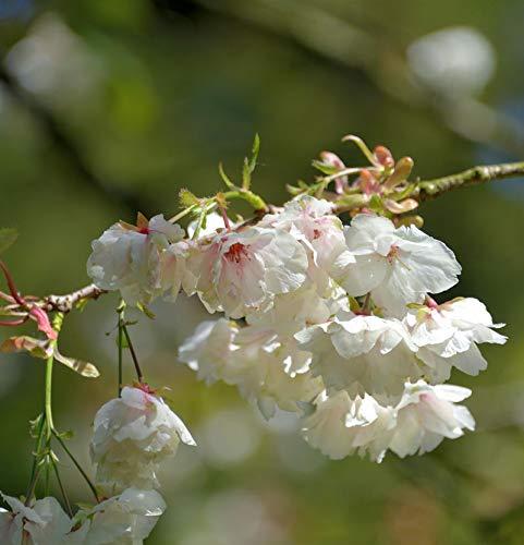 Hochstamm Zwerg Zierkirsche Little Jeremy 40-60cm - Prunus serrulata