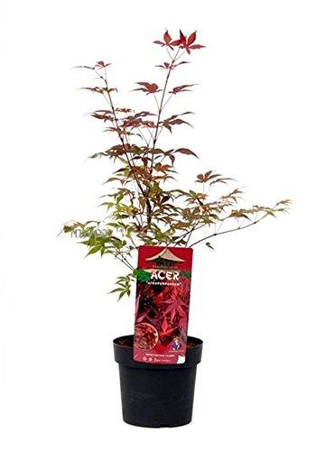 Ahorn palmatum Atropurpureum - violetter asiatischer Fächerahorn - verschiedene Größen (60-80cm - 3Ltr.)