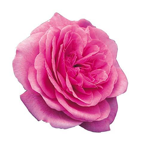 Gertrude Jekill®di Rose Barni®, pianta rampicante rifiorente Rose Inglesi allevata a spirale su piramide alta, resistente alle malattie, molto profumata con fiori di color rosa acceso cod. 79316