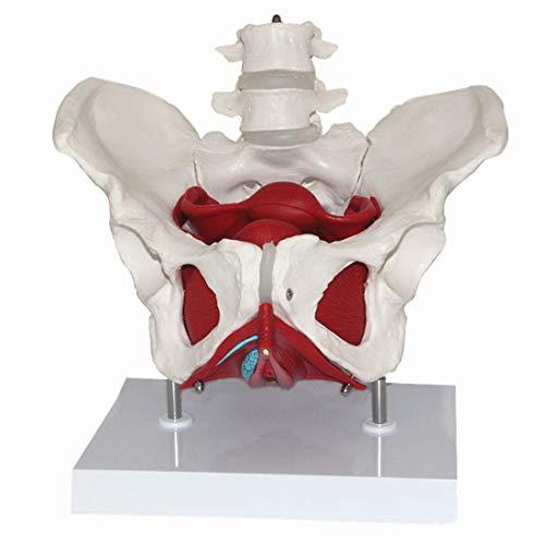 ZJM Weibliches Beckenmodell, Lebensgroßes Medizinisch-Anatomisches Beckenstrukturmodell Mit Beckenbodenmuskel Und 2 Lendenwirbeln, Abnehmbare Organe, Für Den Studienunterricht