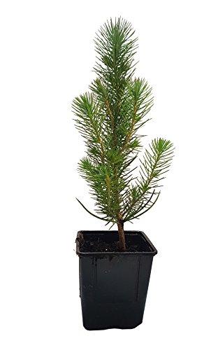 Seedeo® Mittelmeer Pinie (Pinus pinea) Pflanze 1 Jahre