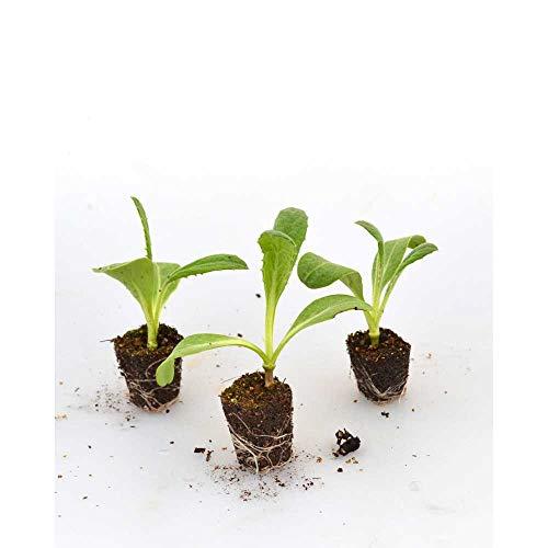 Kräuterpflanzen - Artischocke Imperial Star/Cynara scolymus - 3 Pflanzen im Wurzelballen