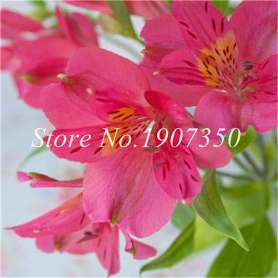 Shopmeeko Graines: Bonsai 100 Pcs Rare Bonsai Alstroemeria Beauté fleurs en pot Balcon Plantation Saisons Bonsai Color Mixed Bonsai intérieur: 10