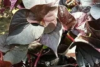 8 Ace of Spades Ipomoea Very Edible Sweet Potato Vine - Starter Plant