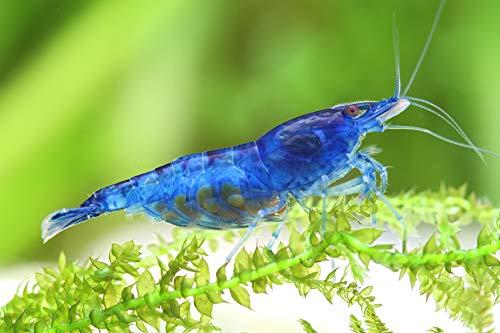 Garnelen Einsteigergarnelen Neocaridina davidi - lebend Zwerggarnelen für das Aquarium - 5er Pack, Farbe blau