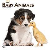 Baby Animals - Tierbabys 2020 - 16-Monatskalender: Original BrownTrout-Kalender [Mehrsprachig] [Kalender] (Wall-Kalender)