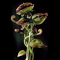 Kisshes Seeds- 50/100pcs Copa Dionaea Giant Muscipula Clipe Flytrap Semillas de plantas Carnivorous Seeds Garden (100pcs, Amarillo)