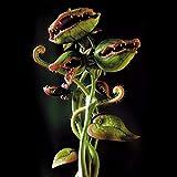 Kisshes Seeds- 50/100pcs Copa Dionaea Giant Muscipula Clipe Flytrap Semillas de plantas...