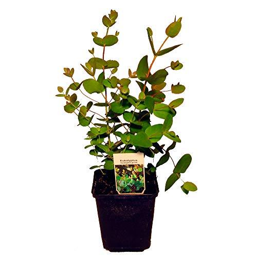 Eukalyptus gunii ca. 20-25cm, frischer...