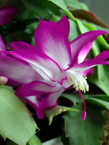 Hirt's Fuchsia Christmas Cactus Plant - Zygocactus - 2.5' Pot - Chrismas Blooms