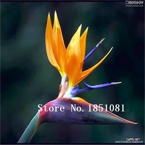 AGROBITS 100pcs / pots pack. Flower aux planteurs Toutes sortes de couleurs Strelitzia graines de semences reginae paradis des oiseaux hybride Bonsai Graines de fleurs: jaune