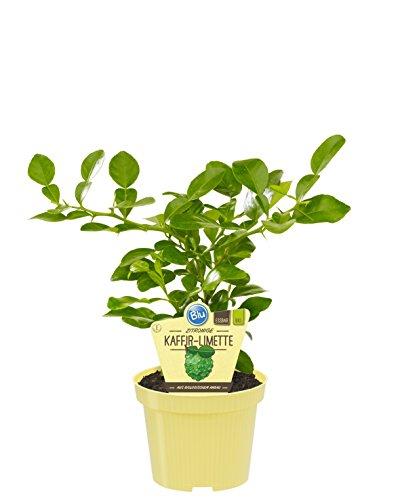 Bio zitronige Kaffir-Limette, (Citrus hystrix), Kräuter Pflanzen aus nachhaltigem Anbau (1 Pflanze, je im 12cm Topf)