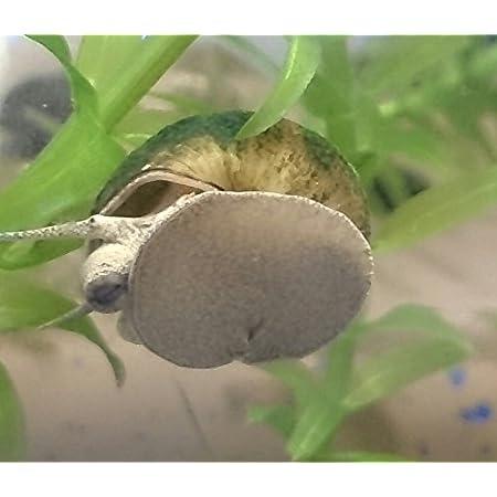 【淡水巻貝 たにし】 ヒメタニシ 10匹+補償分5匹 補償無し※【生体】