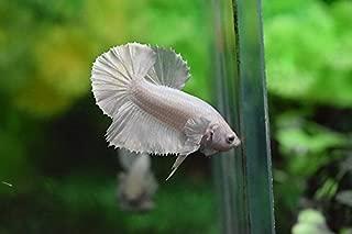 Best platinum betta fish Reviews