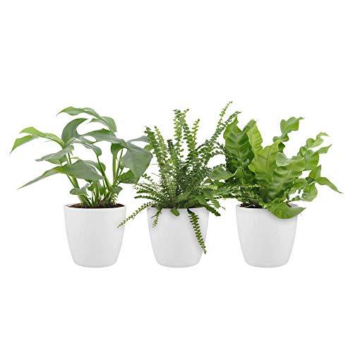 3x Tropische Indoor Zimmerpflanzen mit Töpfen | 3er Set Badezimmer Pflanzen | Fensterblatt, Schwertfarn, Nestfarn | Höhe 20-30cm | Weiße ELHO Topf Ø 12cm