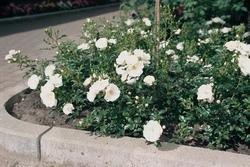 'Innocencia' -R-, Beetrose in A-Qualität Wurzelware, ADR-Rose