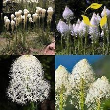 Indian panier Herbe Xerophyllum Tenax 10,20,40 Seeds (20)