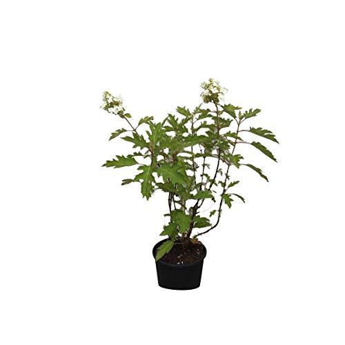 Hydrangea Quercifolia- Hortensia à feuilles de chêne 30-40 cm en conteneur