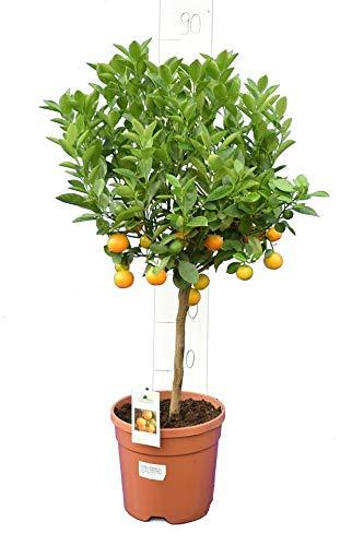 Citrus Mitis - sinaasappelboom - totale hoogte 80-90 cm - stam 30+cm - pot Ø 21 cm