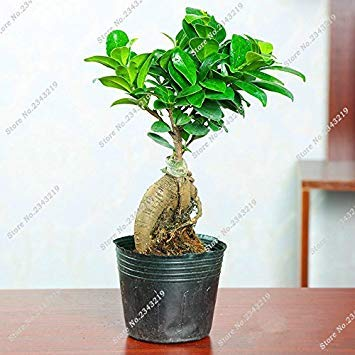 Vistaric En soldes ! Evergreen Banyan Tree Graines Salon Ficus Ginseng Mini Ficus Microcarpa Décoration de Jardin Bonsia Plante Graines 12 Pcs