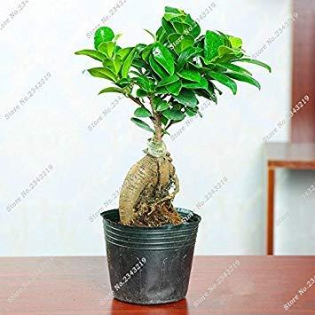 Vistaric En venta ! Everestán Banyan Tree Semillas Sala de estar Ficus Ginseng Mini Ficus Microcarpa Jardín Decoración Bonsia Semillas de plantas 12 Pcs