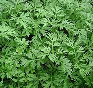 Promoción 2016 Semillas Nueva Artemisia annua Jardín de Plantas Bonsai Semillas-100pcs Variedades de semillas de árboles de hoja perenne interés Nove