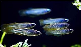 【熱帯魚・卵生メダカ】 アフリカンランプアイ ■サイズ:SMサイズ (500匹)
