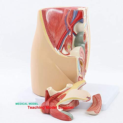 FSYH Modello Anatomico del Sistema Pelvico Genito-Urinario Femminile, Puzzle Assemblare Un Modello di Sezione Sagittale Mediana in 4 Parti, per Medicina E Insegnamento