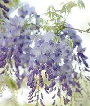 1 Wisteria floribunda Lawrence Grafted Live Plant