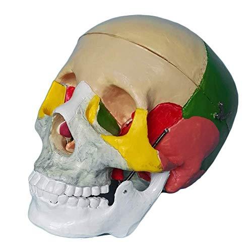 LIBAI Modelo de anatomia del craneo Humano - Modelo de craneo Humano Colorido Modelo de craneo Extraible Modelo anatomico de craneo Adulto de Tamano Natural con Tapa de craneo Extraible