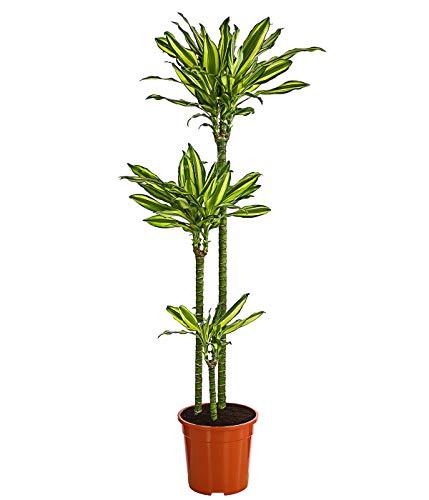 Dehner Drachenbaum Golddream, gelb-grün panaschiert, ca. 120-140 cm, Ø Topf 24 cm, Zimmerpflanze