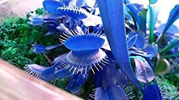 Clip Shopvise 500Pcspromotion azul gigante del Dionaea del atrapamoscas de Venus Semillas Semillas Bonsai semillas de flor