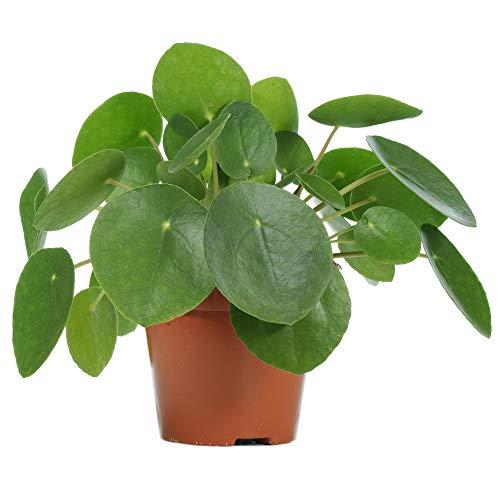 Pilea Peperomioides - Planta de panqueques para interior con dinero chino (20 – 30 cm (incluye maceta))