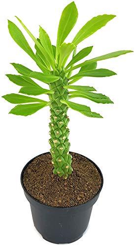 Fangblatt - Monadenium guentheri - Euphorbie - exotische Sukkulente - pflegeleicht Zimmerpflanze