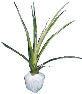 HAWAIIAN PINEAPPLE PLANT (Ananas comosus) - POTTED/ROOTED - APPROX. 22 - 28 INCHES