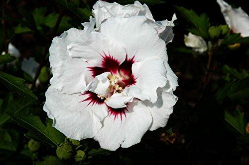 Hibiskus weiße Blüte Garteneibisch Speciosus Hibiscus Speciosus Containerware 60-100 cm