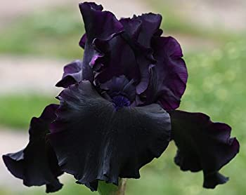 SUPERSTITION GERMAN BEARDED REBLOOMING IRIS  1  Rhizome/Bulb/Root Ready for Planting Now