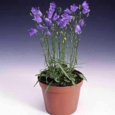 Campanula rotundifolia Thumbell Blue 500 Seeds