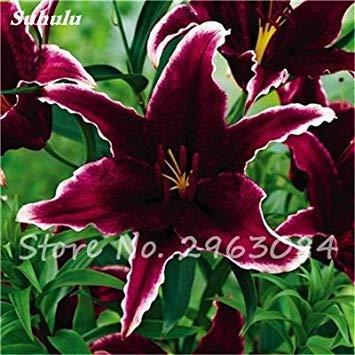 Livraison gratuite 100 pcs Lily Graines de fleurs Parfums Lily Graines Indoor Bonsai Graines exotiques vivace Plante en pot pour jardin 10