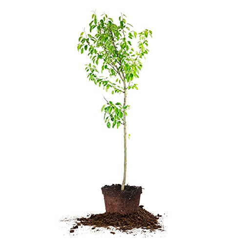 Moonglow Pear Tree | 4-5 ft. Tall | Self-Pollinating | Heavy Producer of Sweet Fruit