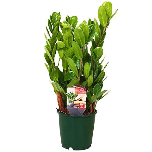 Pflanzen Kölle Kompakte Glücksfeder, Zamioculcas zamiifolia 'Lucky' Höhe 40 cm, Topf 14 cm