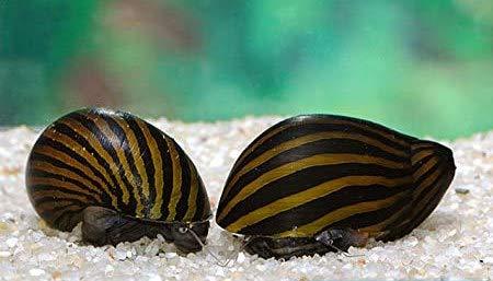 Diskuskeller 10 STK. Zebra-Rennschnecke super Algenfresser Zebrarennschnecken im Sparpaket Schnecke