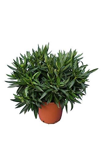 Rosa Oleander - Nerium oleander - Gesamthöhe 70-90 cm - Topf Ø 26 cm