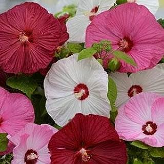 Hibiscus moscheutos Mix PERENNIAL Smashing 9