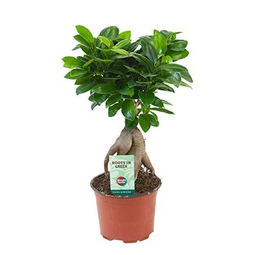 Ficus microcarpa Ginseng | Bonsai Baum | Indoor Zimmerpflanzen | Höhe 30-35cm | Topf-Ø 12cm