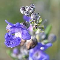 """ローズマリー ギルテッドゴールドの苗【品種で選べるハーブ苗9cmポット/2個セット】シソ科 多年草 学名:Rosmarinus officinalis """"Giulded"""" 立性のローズマリー。まっすぐに伸びる枝で葉のふちが黄色く中心は緑色の、明るい色目の葉が美しい品種です。濃い青紫の花を咲かせます。春~初夏にかけて軽く枝を剪定すると形よく仕立てられます。普通のローズマリー品種と同様に葉を料理やハーブティーなどに利用できます。耐寒性は緑葉のローズマリーよりやや劣りますが、寒冷地以外では露地植え可能です。自社農場から新鮮出荷!!"""