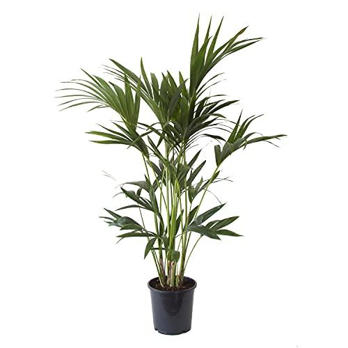 Plante d'intérieur de Botanicly – Palmier Kentia – Hauteur: 110 cm – Howea Forsteriana