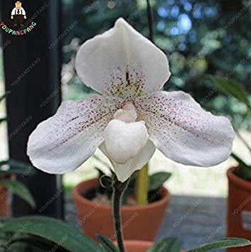 100pcs 20 types d'orchidées Graines vivaces Fleurs Plantes ornementales en pot Bansai Semences pour balcon et cour plante Diy jardin Deep Blue